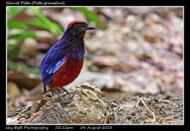 28 BIRDERS ZhongYingKoay - Garnet Pitta