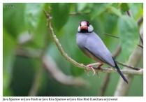 32 BIRDERS ZhongYingKoay - Java Sparrow
