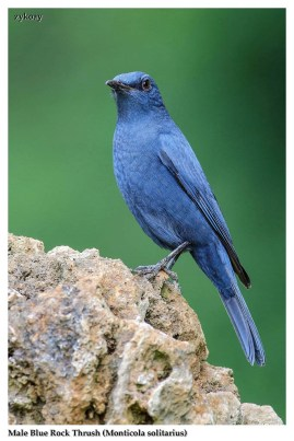 33 BIRDERS ZhongYingKoay - Male Blue Rock Thrush