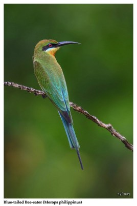 34 BIRDERS ZhongYingKoay - Blue-tailed Bee-eater