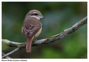 35 BIRDERS ZhongYingKoay - Brown Shrike