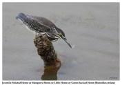 42 BIRDERS ZhongYingKoay - Juvenile Little Heron