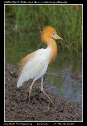 45 BIRDERS ZhongYingKoay - Cattle Egret in Breeding Plumage
