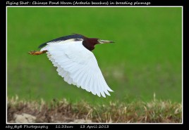 50 BIRDERS ZhongYingKoay - Flying Chinese Pond Heron in breeding Plumage