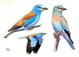 20 Szabocs Kokay - birdingmurcia
