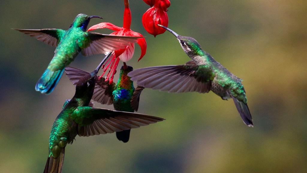 when is nesting season for hummingbirds