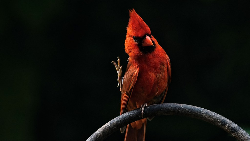 Why Do Cardinals Fly Into Windows