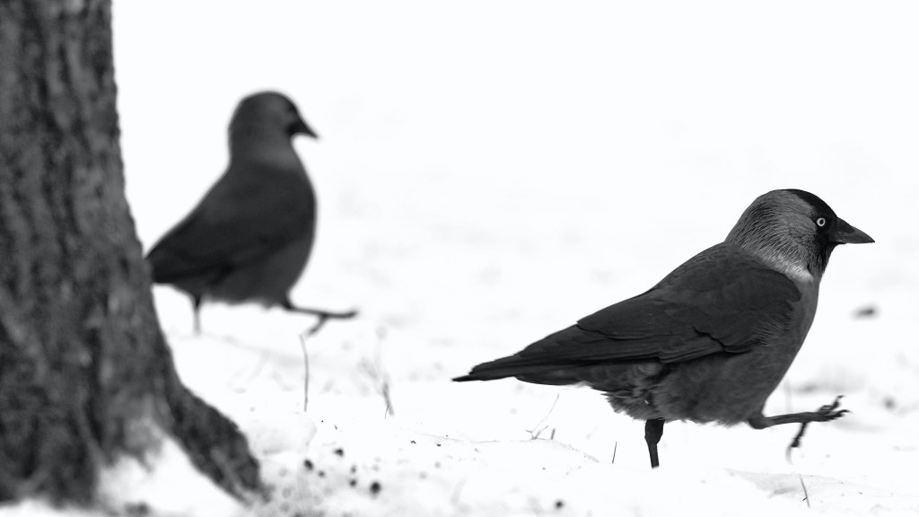 attracting crows to protect chickens