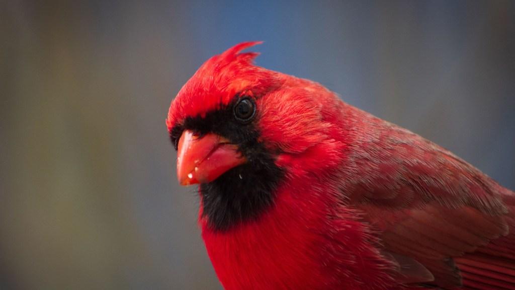 hand feeding Cardinals