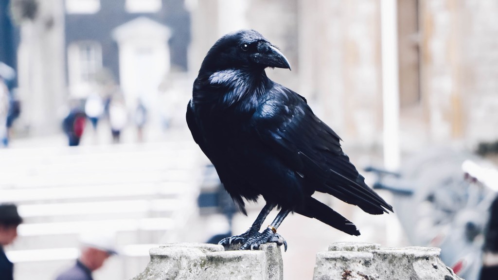 how to attract Ravens