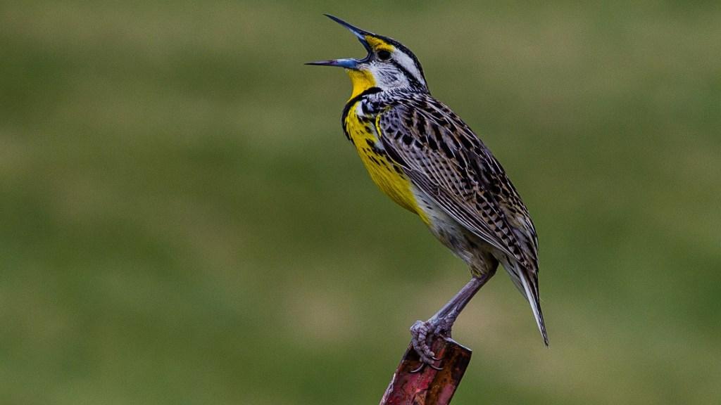 common songbirds of the Pacific Northwest