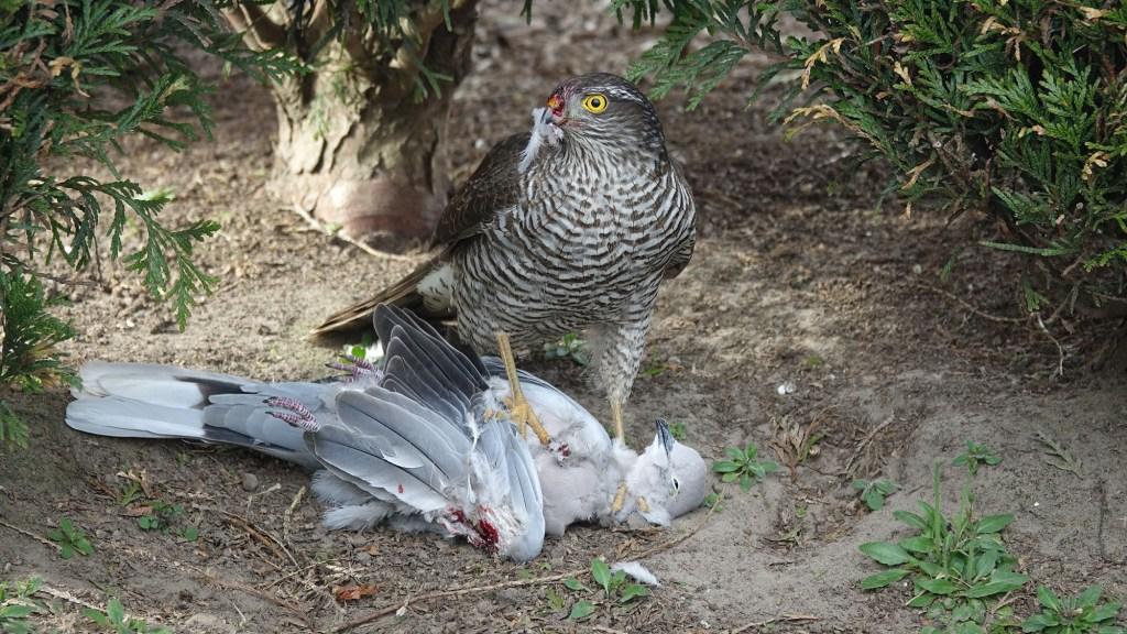 how often do sparrowhawks eat