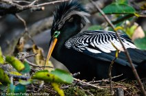 Anhinga preening. Photo taken on January 5, 2015 with a Nikon 3200 Sigma 500mm.