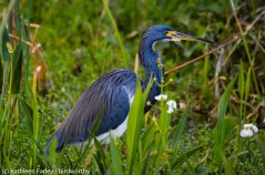 Tricolored Heron, hunting. Photo taken on January 6, 2015 with a Nikon 3200 Sigma 500mm.
