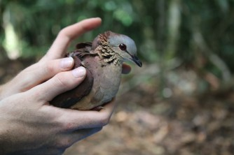 White-faced Quail-Dove in the hand. Cusuco National Park, Honduras. Photo taken July 4, 2015.