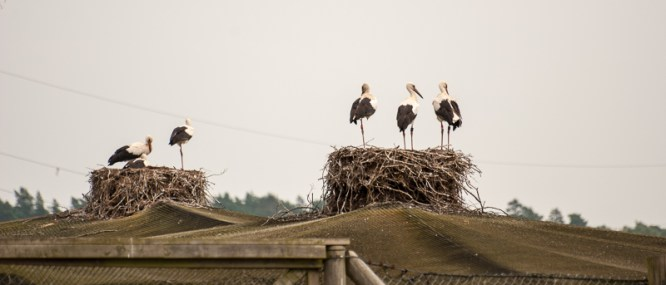 Wild young storks on the nests on the top of the aviary.