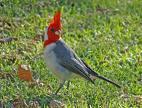 Melorm til grå kardinaler