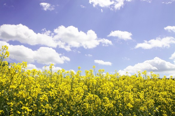 field-of-rapeseeds-4170414_1920