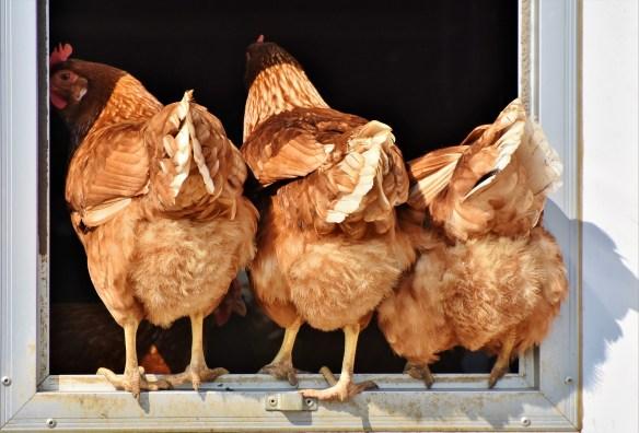 chicken-3607863_1920