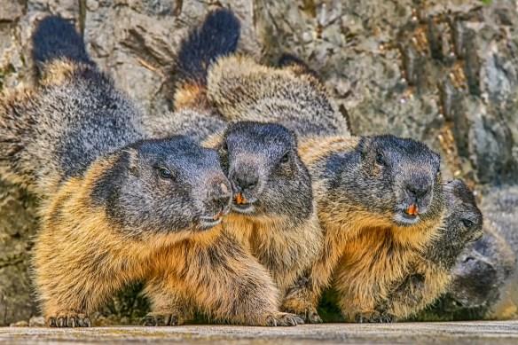marmot-3465220_1280