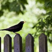 Blackbird Menuet