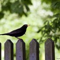 Blackbird Menuet