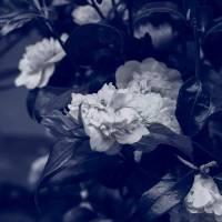 Innocent Camellia