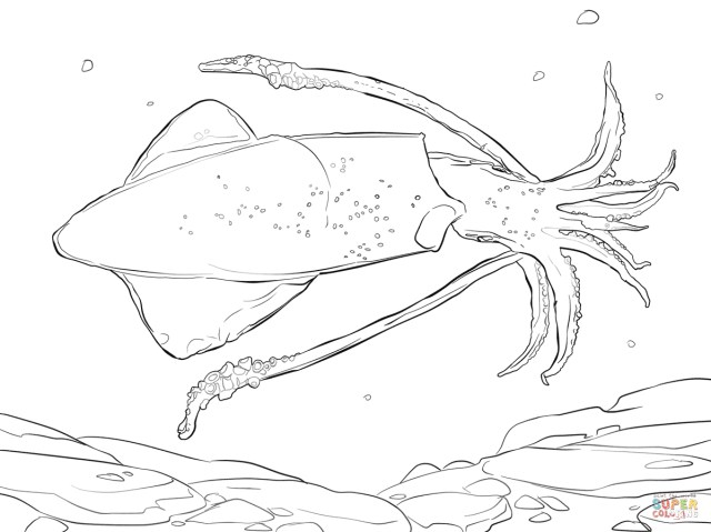 Squid Coloring Pages Common Squid Coloring Page Free Printable Coloring Pages