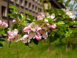 Bild: Paradiesruinen - Blühender Apfelbaum in Prora auf der Insel Rügen.