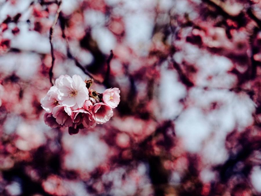 Bild: Blühende Kirschbäume am REWE Markt Kirschweg in Hettstedt. OLYMPUS OM-D E-M5 mit M.ZUIKO DIGITAL ED 12‑40mm 1:2.8. ISO 200 ¦ f/2,8 ¦ 40 mm ¦ 1/2000 s ¦ kein Blitz. Klicken Sie auf das Bild um es zu vergrößern.