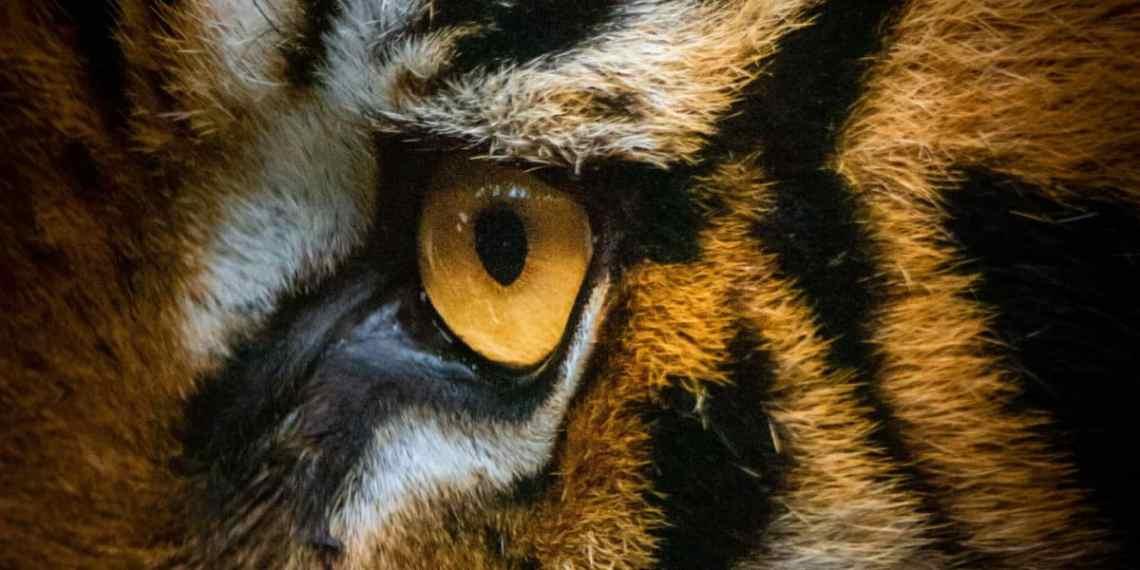 Tigeren er et godt eksempel på vores uhensigtsmæssige tanker