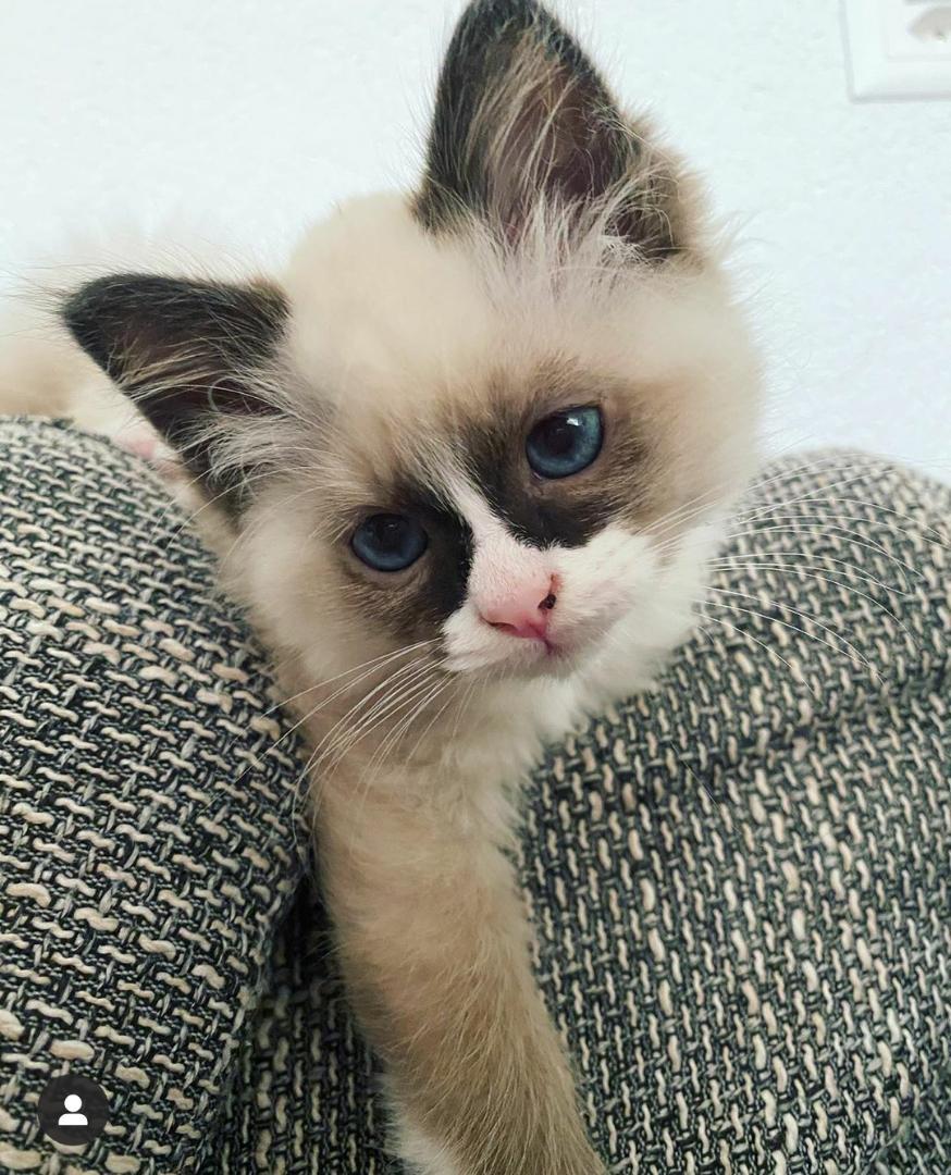 Birman Kittens Near Me : birman, kittens, MURPHY'S, BIRMAN, KITTENS, WILLIAM, ADAMS