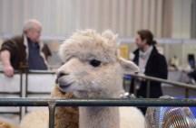 British Alpaca Futurity_NEC_150313 (158)