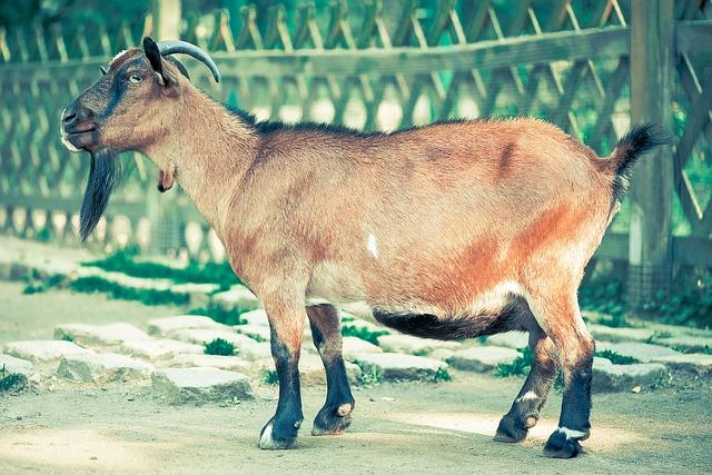 Mitos atau Fakta : Benarkah makan daging kambing dapat membahayakan?