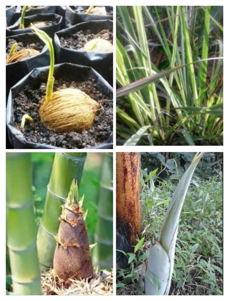 Tanaman Yang Berkembang Biak Dengan Tunas : tanaman, berkembang, dengan, tunas, PERKEMBANGBIAKAN, VEGETATIF, TUMBUHAN, Bisakimia