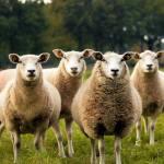 Five white sheep
