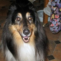 Dog Rescue - Interview with Carol Guth, Sheltie Haven Sheltie Rescue, Inc.