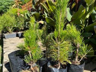 Bishopsford Japanese Black Pine pre-bonsai