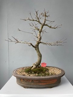 Acer buergerianum - Chinese Maple Bonsai