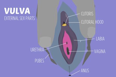 Sexual body parts VULVA