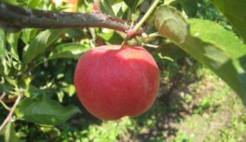 Swiss Apple May Reduce Wrinkles and Giveaway Preview