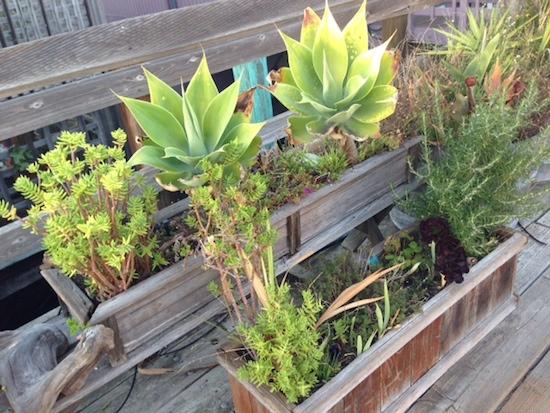 Sausalito Succulents 2