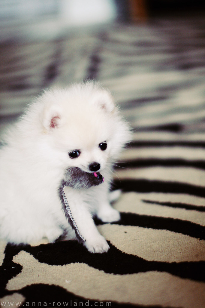 White Teacup Puppy : white, teacup, puppy, WHITE, TEACUP, POMERANIAN, PUPPIES