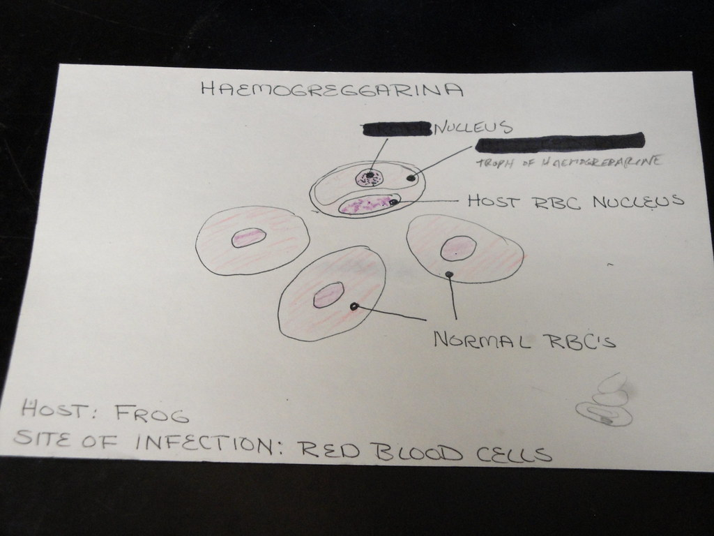 hight resolution of diagram of haemogregarina in frog red blood cells