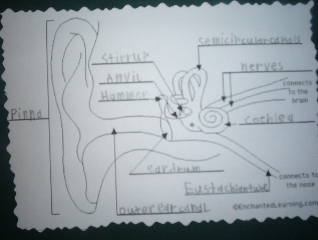 ear anatomy diagram labeled force vector calculations human