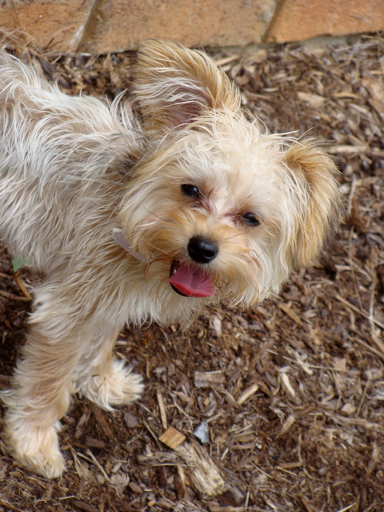 Yorkie Poodle Mix Puppies