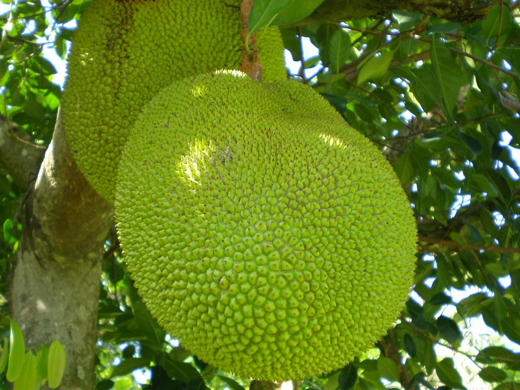 Jackfruit (largest fruit in the world)