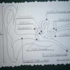 Diagram Of Human Ear With Labelling Tv Circuit Board Repair
