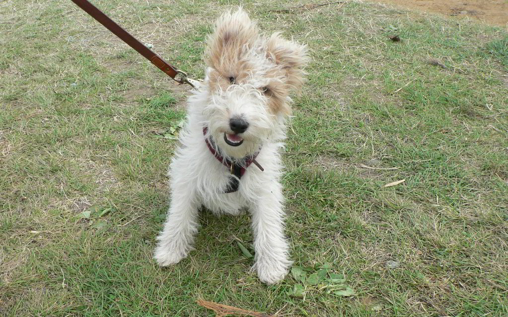 Wire-Haired Fox Terrier