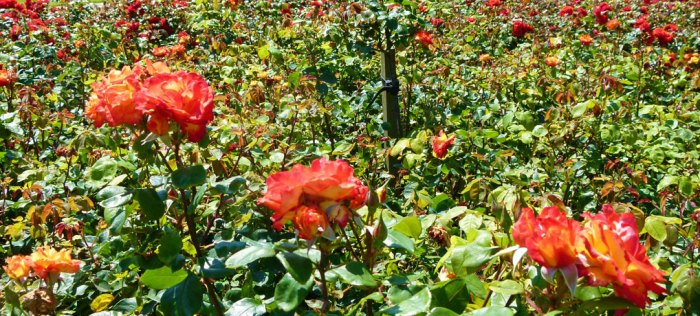 Rose Garden, Southsea, Portsmouth